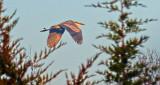 Late Season Heron In Flight P1210741