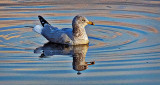 Floating Gull DSCF5436