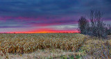 Cornfield Sunrise 46530-2