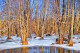 Frozen Swamp P1000916