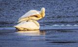 Two Swans On Ice DSCF5846