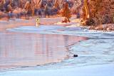 Otter On Ice At Sunrise P1020772.4
