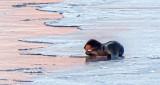 Otter On Ice At Sunrise P1020772.4 (crop)