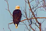 Eagle In A Tree DSCF5957