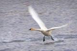 Swan Taking Flight DSCF6021