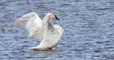Stretching Swan DSCF6059
