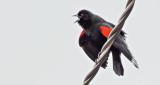Red-winged Blackbird Calling DSCF6224