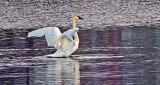 Stretching Swan DSCF6637