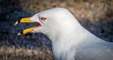Mouthy Gull DSCF6715