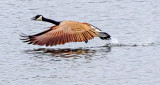 Goose Taking Flight S0186829