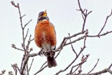 Robin Singing In A Treetop S0016737