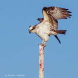 Avian Pole Dancer S0227060