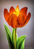 Orange Tulip P1050075-83