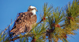 Osprey In A Pine Tree S0167280