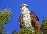 Osprey In A Pine Tree S0237372
