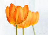 Three High-key Tulips P1050101