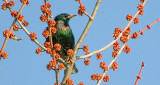 Starling In Budding Treetop S0017465
