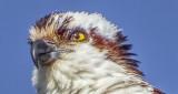 Osprey Closeup S0237370