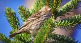 Pine Siskin S0207540