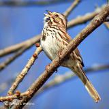 Song Sparrow Singing DSCF7742