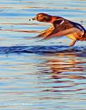 Ring-necked Duck Taking Flight DSCF8141