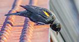 Curious Red-winged Blackbird DSCF7819
