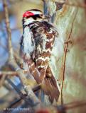 Woodpecker Pecking DSCF8546