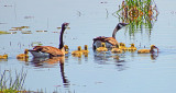 Geese & Goslings DSCF9427