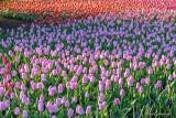2016 Tulip Festival P1060384