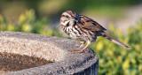 Song Sparrow P1060410