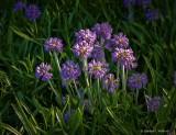 Sunstruck Purple Flowers P1060417