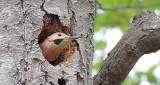 Northern Flicker In A Tree DSCF9568-70