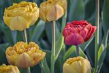 2016 Tulip Festival P1060351