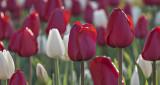 2016 Tulip Festival P1060379