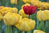 2016 Tulip Festival P1060319