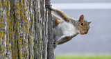 Impudent Squirrel P1060833