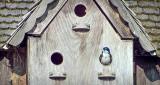 Tree Swallow In A Birdhouse DSCF10526