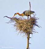 Heron On Its Nest DSCF10583