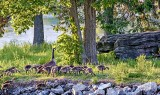 Geese On Turtle Island P1070474