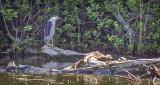 Black-crowned Night Heron (48536.DSCF10812)