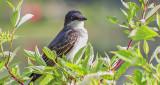 Kingbird In A Bush DSCF1001