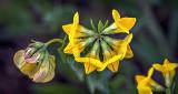 Yellow Wildflower P1070694-6