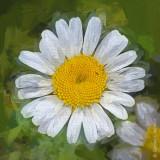 Wild Daisy P1070750 'Art'
