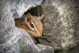 Chippie Peeking Out DSCF11391
