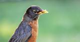 Backlit Robin With A Snack DSCF11522-3