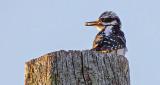 Hairy Woodpecker Atop A Pole DSCF12247