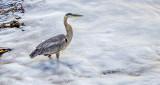 Heron Fishing In Foam DSCF13009