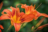 Daylilies P1080613