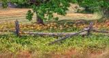 Daylilies & Split Rail Fence DSCF13244-6