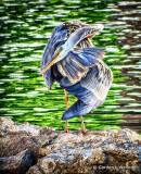 Heron Preening DSCF13600